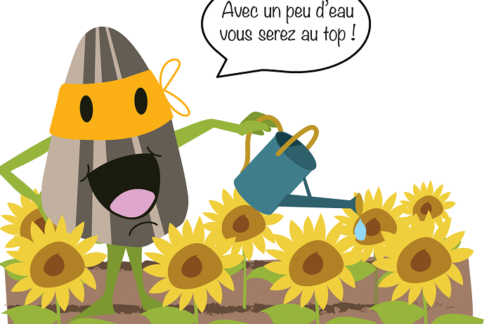Irrigation du tournesol