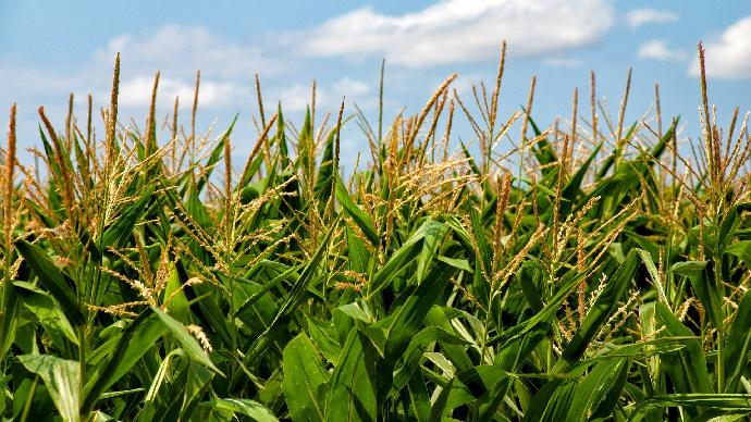 L'industrie de l'éthanol reprend des couleurs et soutient le maïs