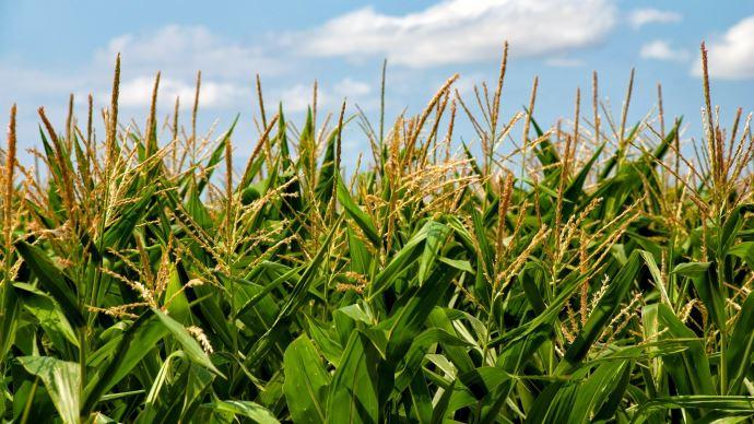 Coup de chaud sur le maïs américain