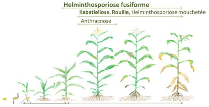 Apparition des principales maladies du maïs au cours de son développement