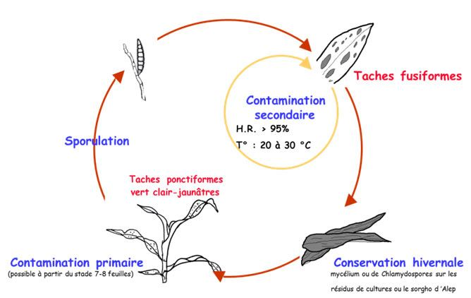 Cycle de l'helminthosporiose fusiforme (Exserohilum turcicum)