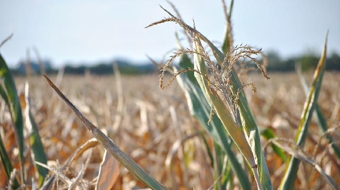 Avec la canicule, l'état du maïs français se détériore fortement