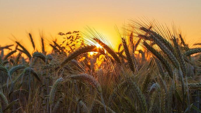 Soleil sur un champ de blé
