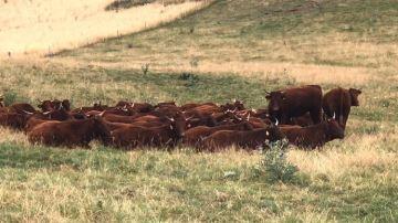 Pourquoi les vaches se couchent-elles collées quand il fait chaud?