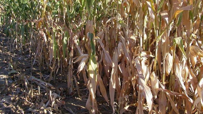 Maïs: réduction drastique des perspectives de récolte française