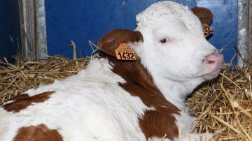 Évaluez vos croisements viande sur vaches laitières grâce à l'indexation