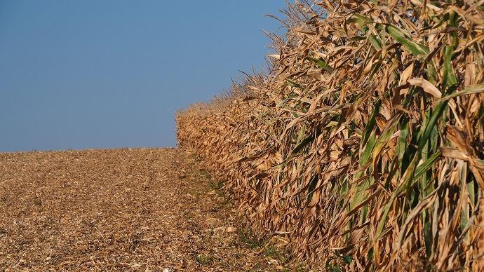 Pour une exploitation céréalière moyenne de 200ha, la perte de trésorerie suite à la moisson 2020 est de l'ordre de 22000 euros, selon Piloter sa ferme.
