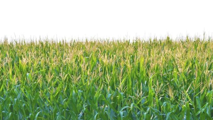 Les cours du soja et du maïs ont terminé en hausse le 11 septembre à Chicago.