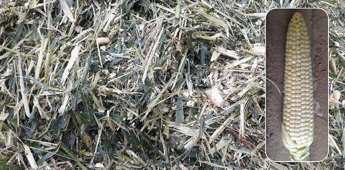 Maïs fourrage récolté au Taarup