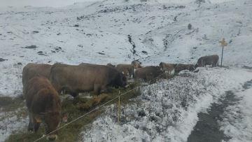 Des vaches déjà sous la neige en montagne un 25 septembre!
