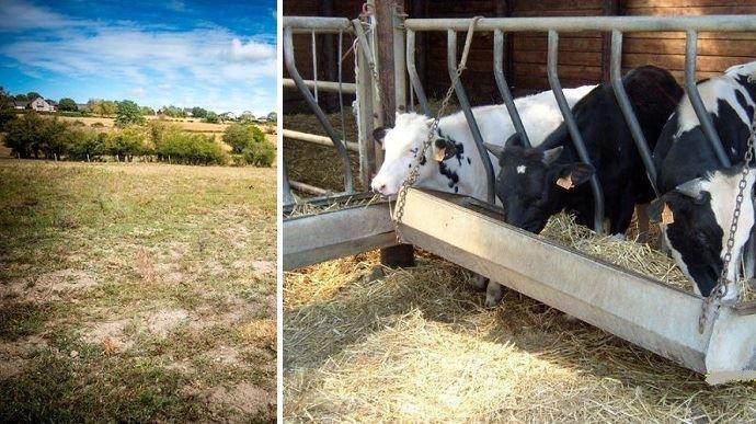 manque d herbe dans prairie et vaches laitieres
