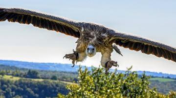 Le vautour, nouvelle plaie des éleveurs auvergnats?
