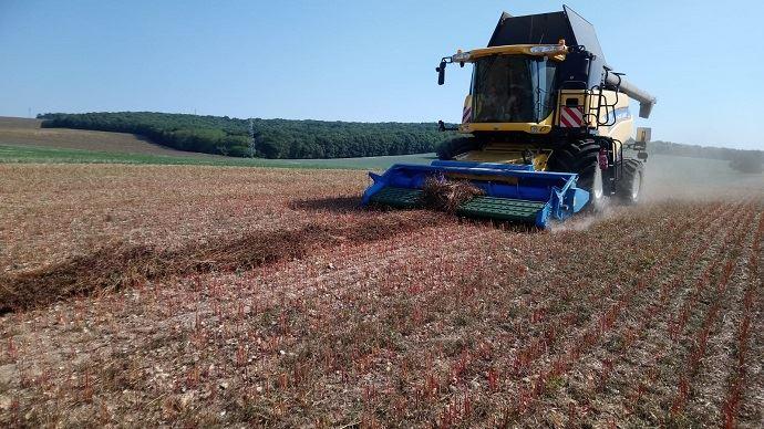 Récolte du sarrasin