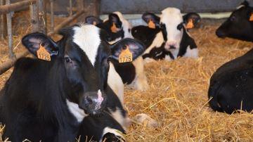 Eilyps recherche des éleveurs degénisses pour son service Délèg'génisse