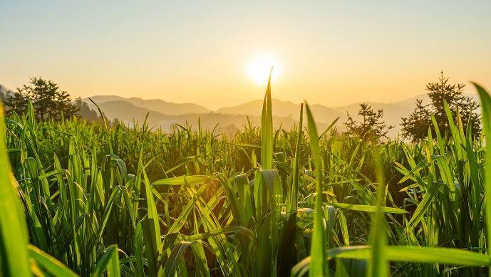 que sont devenus les stocks records de maïs évoqués par le gouvernement chinois depuis des années?
