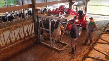 Une cage de parage faite maison qui se déplace de vache en vache