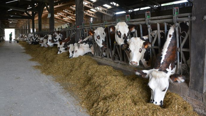Ration des vaches laitières à l'auge