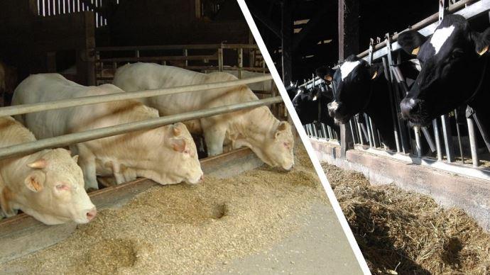 Vaches laitières et bovins à l'engraissement à l'auge