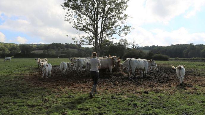champ vaches éleveuse