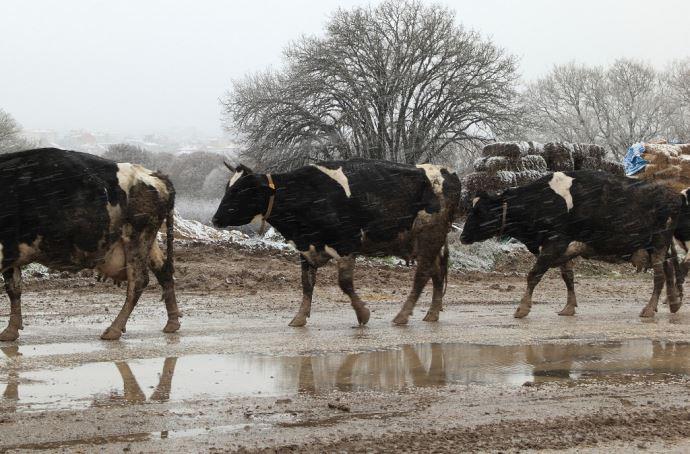 Vaches laitières sous la neige