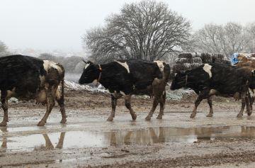 Comme les fortes chaleurs, le froid peut aussi pénaliser la production laitière