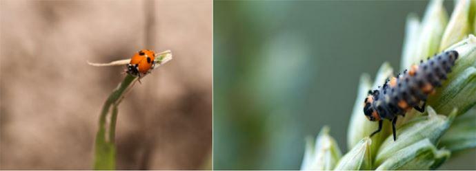 Comme pour les pucerons, l'observation visuelle sans piégeage est la plus adaptée aux coccinelles. Adulte (à gauche) et larve (à droite)