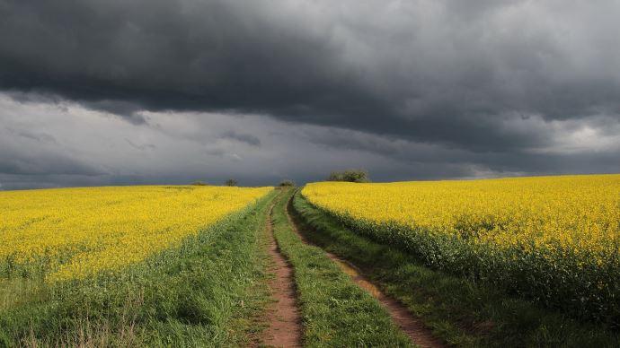 champs de colza orages