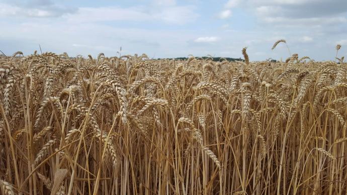 Champs de blé tendre