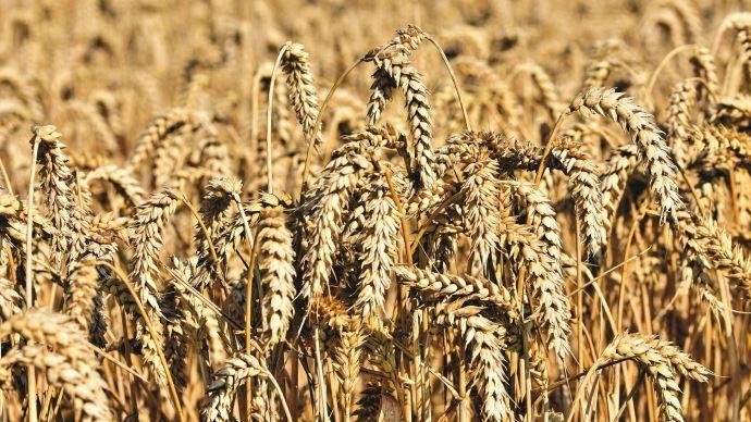 La demande mondiale a contribué à faire grimper le blé sur le marché de Chicago vendredi 3 septembre 2021.