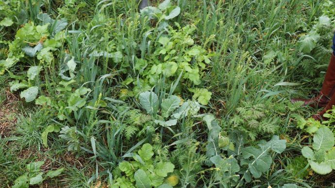 Couverts végétaux
