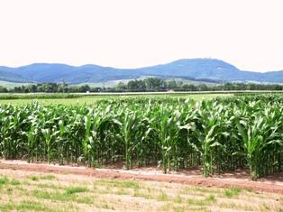Le maïs français et allemand réunis pendant trois jours en Alsace