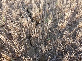 Des semis de colza freinés par le climat