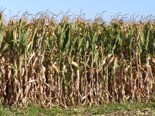 La production mondiale de maïs revue à la baisse