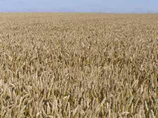 Les semis de blé en retard en Inde