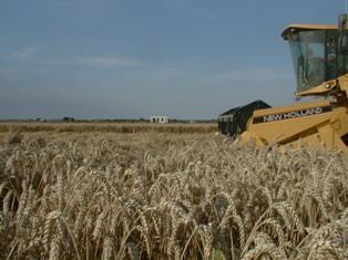 Le blé se replie