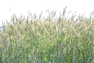 Baisse de 7 % de la production de blé pour 2011 aux Usa (Mise à jour le 12 mai)