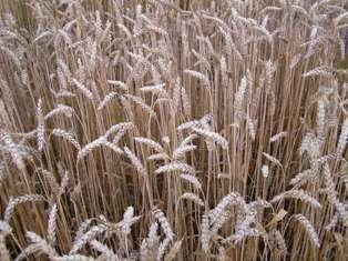 Maïs, blé, soja sous pression après le passage de pluies