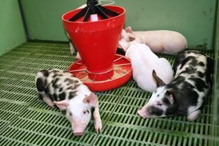 La France ne profite pas de la croissance de la production de porcs en Europe