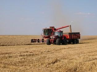 Maïs, blé et soja chutent, des pluies prévues en Amérique du Sud