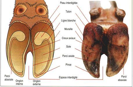 Reconnaître les différentes pathologies du pied