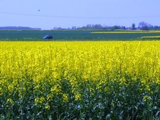 Les prix des oléagineux modifient les assolements de ce printemps