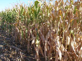 Stress hydrique sur la Corn Belt