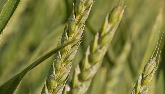 Trois blés dont un repéré pour sa résistance aux maladies