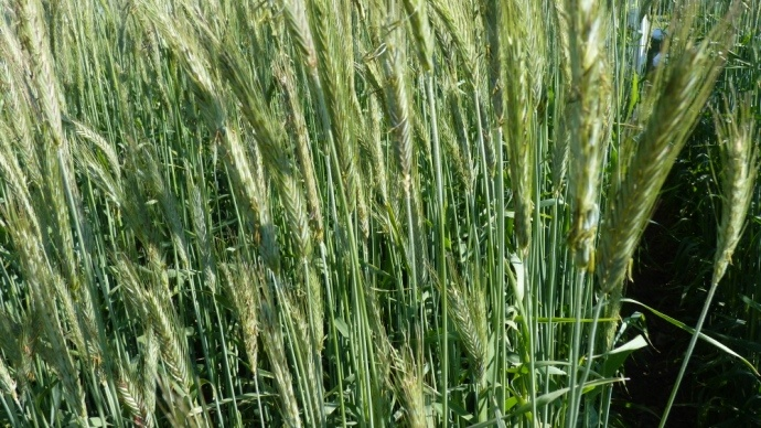 Le seigle hybride : céréale tout terrain et tout temps