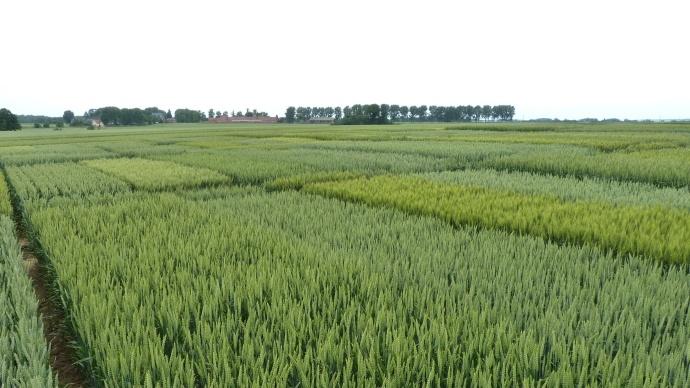 Essais variétés de blé.