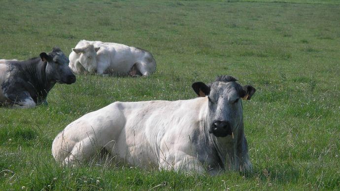 Vaches Blanc bleu belge