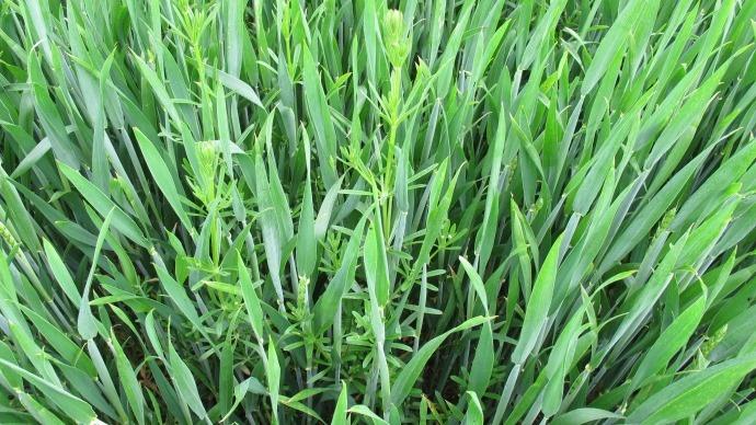 Gaillet dans un champ de blé.