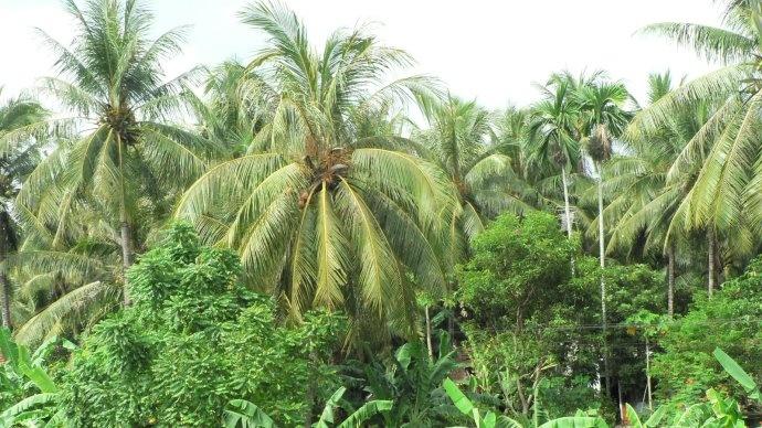 Sécheresse marquée sur les palmeraies d'Asie du Sud-Est