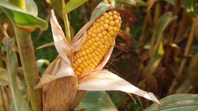 Contre toute attente, l'USDA a augmenté ses prévisions de production